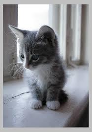 grey kitten 1