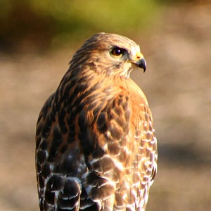 red-shouldered-hawk-11a